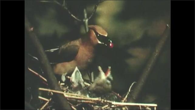 1950s: Cedar Waxwing bird feeds babies in nest.