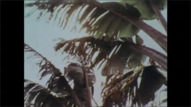 1970s: Children are weighed and returned to their parents by Red Cross doctors. Palm trees blowing in the wind. Red Cross boat sails away as villagers watch.