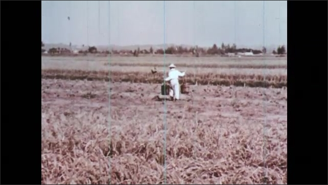 1960s: CHINA: man uses traditional farming methods during dry season. Man tends to sweet potatoes in rice fields.