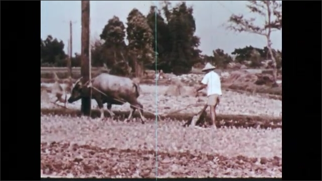 1960s: CHINA: man and boy plough field together using new and traditional methods. Boy on tractor. Man works with water buffalo