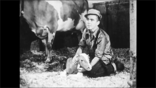1950s: Calf in barn with cow, boy enters, kneels over calf. Man talks, pats cow. Boy stands. Boy moves piece of equipment.