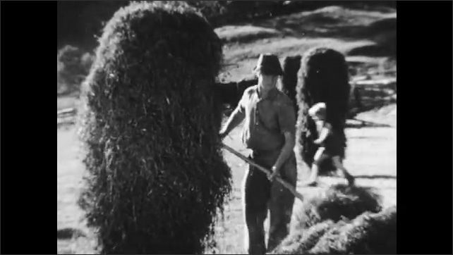1950s: AUSTRIA: EUROPE: family gather hay from field. Farmers load hay in field.