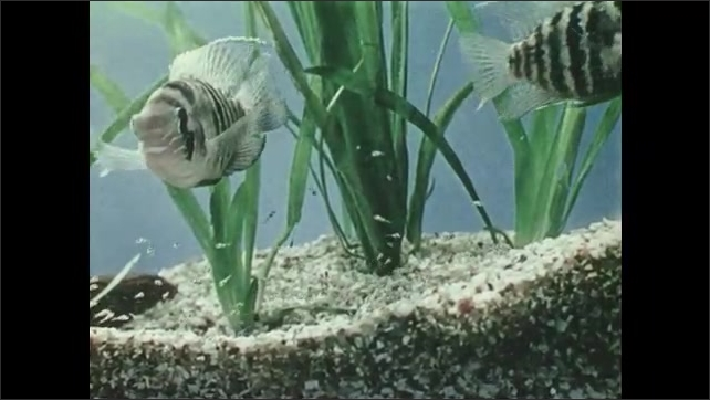 1950s: UNITED STATES: blue achara fish with fry in tank. Baby fish in aquarium.