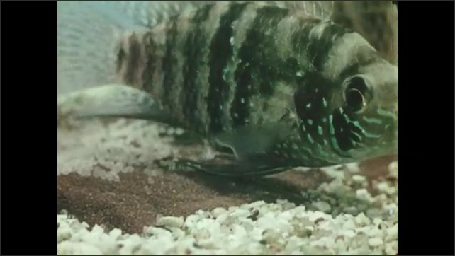 1950s: UNITED STATES: fish lays eggs in tank. Eggs in nest