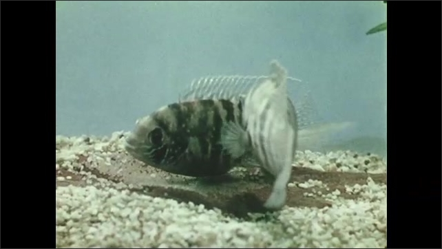 1950s: UNITED STATES: fish guards eggs in nest. Fish fans eggs in nest. Fish take turns at egg care