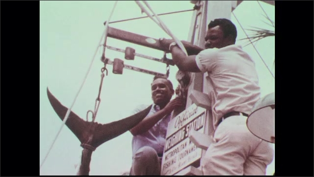 1960s: Crowd watches men hang tuna at weigh station. Woman watches. Men perch at top of weigh station, hold tuna in place, smile. Tuna swings from rope. Scale.