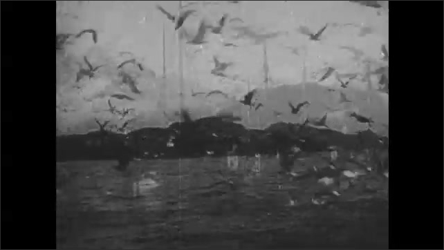 1940s: Flock of seagulls near boats. Men gut and clean fish. Pile of fish heads. Flocks of seagulls hover among boats. Large boats wait at docks.