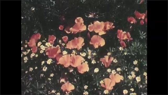 1950s: UNITED STATES: flowers on floor of desert. Flowering plants in spring. Golden poppy in desert.