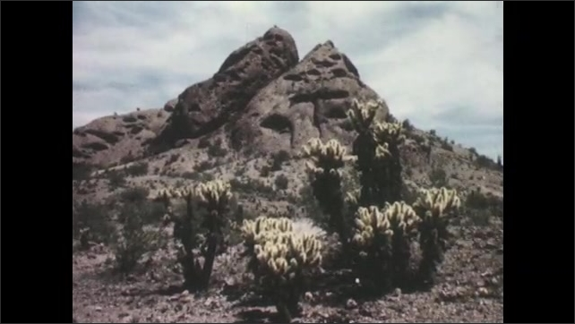 1950s: UNITED STATES: yellow flowers on cacti. Cactus by rocks. Sharp spines on cactus. Cholla cactus