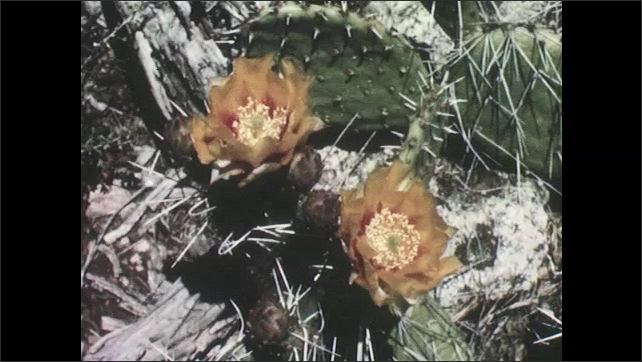 1950s: UNITED STATES: orange flowers on cactus. Purple flower on cactus. Prickly pear cactus in desert.