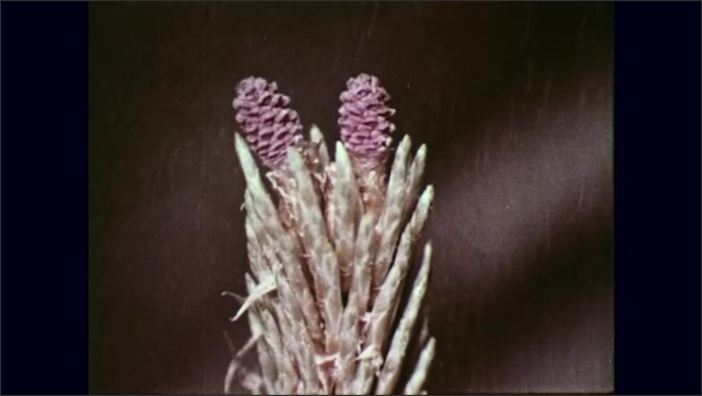 UNITED STATES 1950s : Shots of flowers/ Shot of bee pollinating flower/ Shot of flower self pollinating