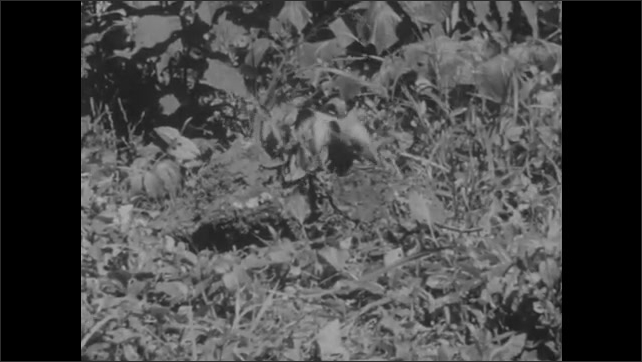 1950s: Anteater walks on a tree branch. Anteater slides down trunk. Anteater finds a termite colony on the ground, digs into it with its claws and eats termites.