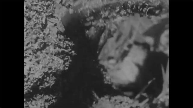 1950s: Termites colony. Anteater eats termites. Anteater digs termite