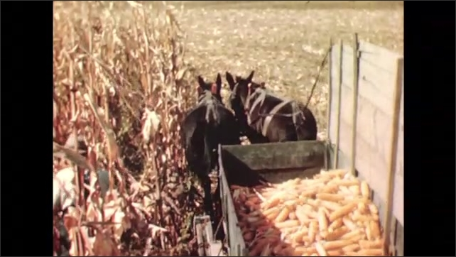 UNITED STATES 1940s:close up of hands on a plant / man collecting corn / corn hitting a wooden wall / horses pulling a box full of corn, man throws corn into box/ close up of collected corn