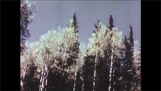 1950s: Trees sway in the wind. Trees in front of mountain.