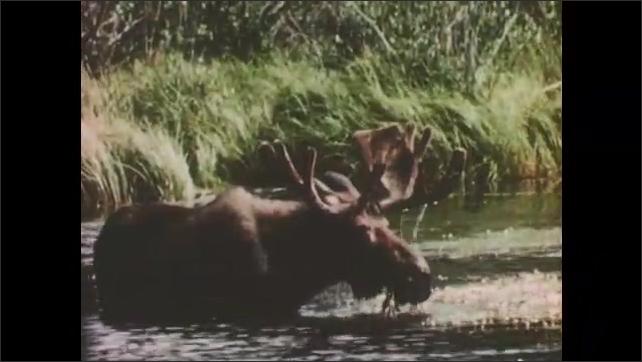 1950s: Horseback riders wade through water and into meadow. Moose grazes in water. Antlered elk graze in meadow.