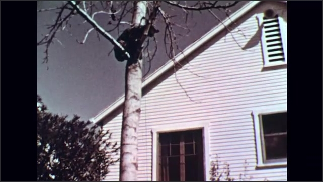 UNITED STATES 1950s : Lady Rescues Cat Stuck Up a Tree