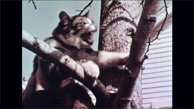 UNITED STATES 1950s : Man Rescues Tabby Cat Stuck Up a Tree