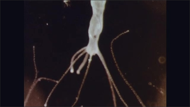 1960s: UNITED STATES: hydra move on microscope slide. Close up of hydra. Hydra feeds with tentacles. Fresh water jelly fish