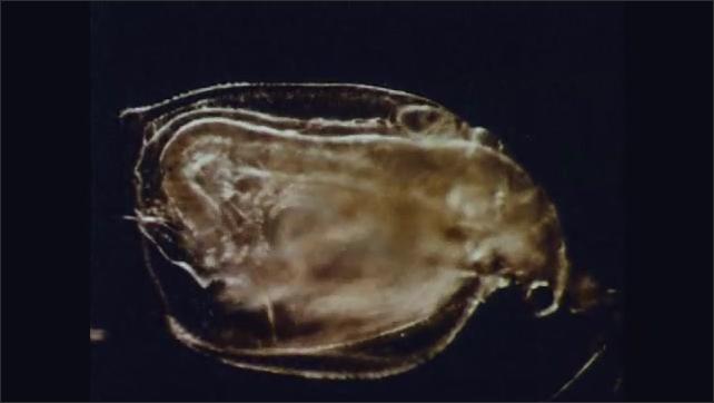 1960s: UNITED STATES: water fleas under microscope. Daphnia under microscope