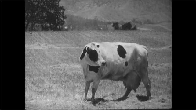 1950s: Calf walking. Cow on field. Cow with calf. Man and girl on grass, man stands and walks away.