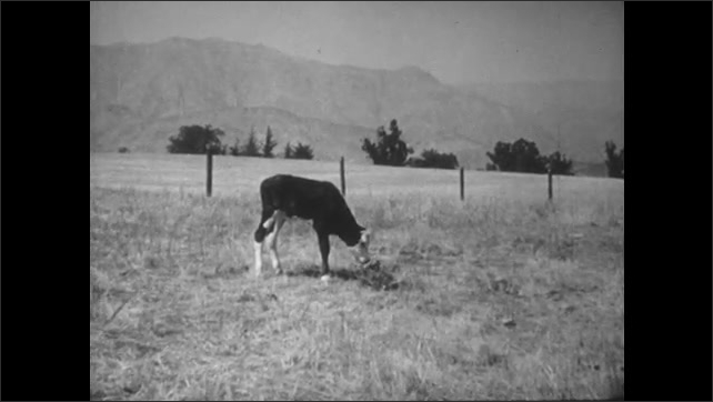 1950s: Calf sleeping in field. Calf grazing. Girl on fence. Girl jumps from fence, runs off screen.
