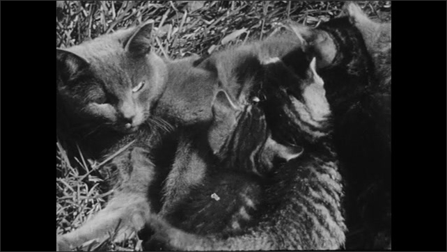 UNITED STATES 1940s: Cow feeding calf / Calf feeds on udder / Cat feeding kittens / Deer feeding fawn / View of eggs in nest.