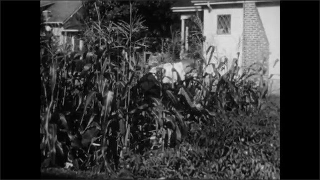 1940s: UNITED STATES: pumpkins grow in vegetable patch. Sweet corn ears on plants. Girl and boy pick sweet corn