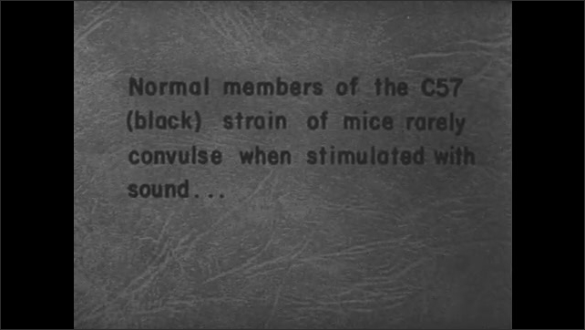1950s: Mouse twirls on platform. Text about dilute brown strain of mice and fatal convulsions around sound. Jars are lifted from over two groups of mice. Mice intermingle.