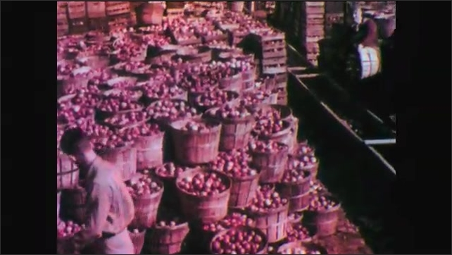 1950s: Men work on farm, harvest spinach, fill large baskets. Farm workers maneuver large stacks of baskets and crates filled with apples. Farm, large group of ducks walk down slope into water.