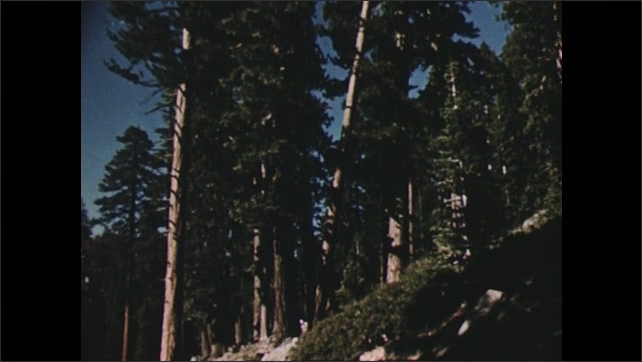 UNITED STATES 1950s: river and trees / tall trees reaching the sky / forest