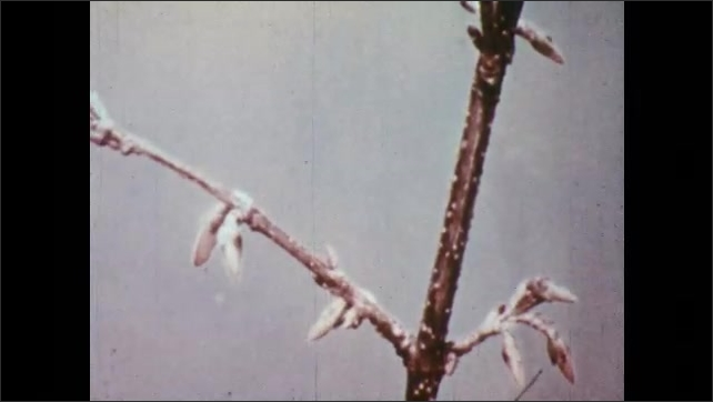 1950s: Flower buds bloom on branch. Petals unfold and open.