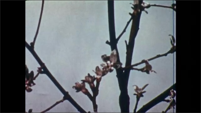 1950s: Crab tree buds grow on branches.