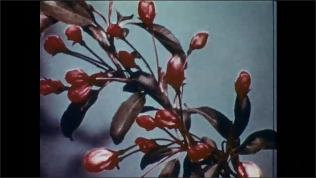 1950s: Pink crab tree buds bloom into white flowers. Bechtel crab flowers bloom.