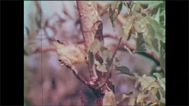 1950s: Bird (goldfinch) on a plant. Bird plucking fiber (cotton?) from a plant. Bird (warbler) jumping from branch of branch on tree.