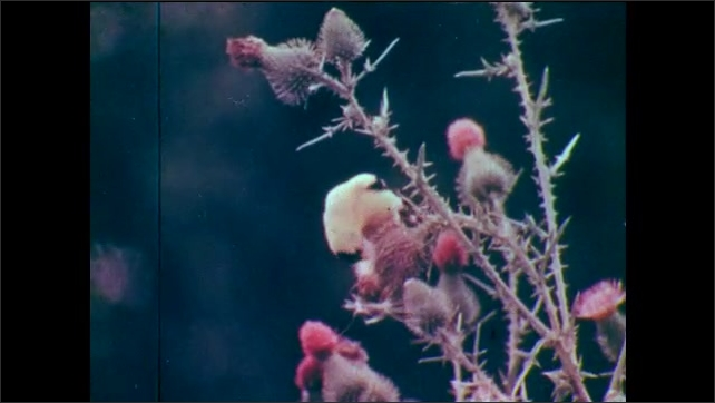 1950s: Bird (warbler) hunting for insects among leaves on tree. Bird (goldfinch) standing on thorny plant, eating plant seeds.