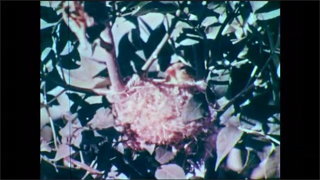 1950s: Bird (female goldfinch) in nest. Bird in nest looks around, nudges nest from inside.