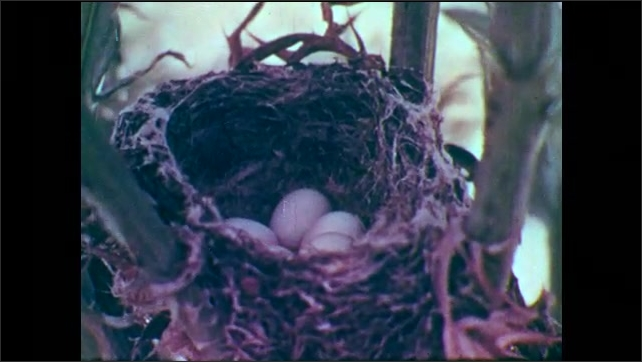 1950s: Bird (female goldfinch) in nest, looking around and moving in nest. Eggs in goldfinch nest on thistle plant. Female goldfinch in nest.