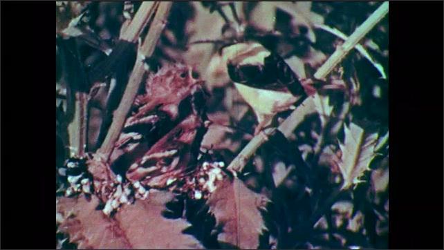 1950s: Hatchling birds (goldfinch) in nest, alert and looking around. Adult bird feeding young birds in nest.