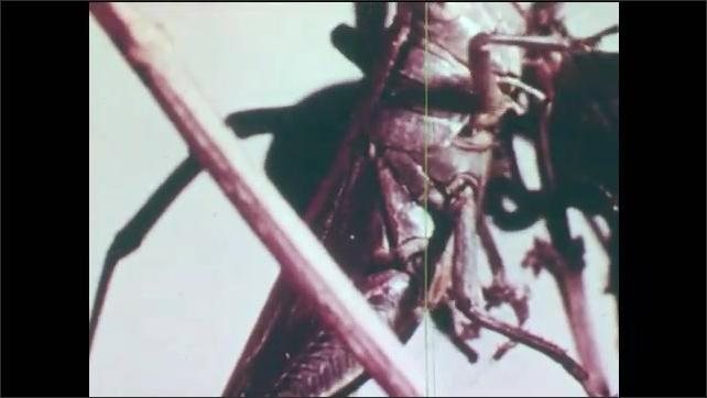1960s: Grasshopper climbs plant. Black Widow spider in web. Grasshopper is caught in web. Black Widow attacks grasshopper. Wasp on plant.