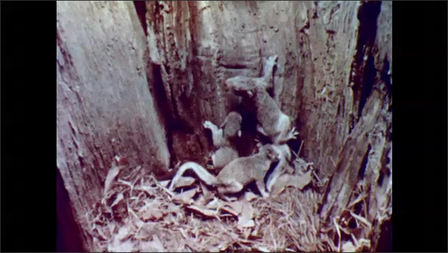 1960s: Squirrel climbs into hole in tree, lands in nest with baby squirrels. Baby squirrels climb around in nest.