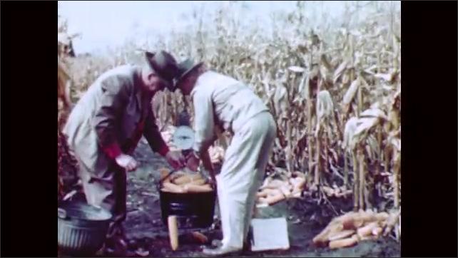 1950s: Men in jumpsuits strip corn from dry stalks. Men weigh ears of corn on bucket.
