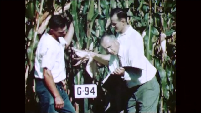 1950s: Man in suit and man in overalls kneel in cornfield. Researchers examine lush corn field and characteristics of hybrid strain.