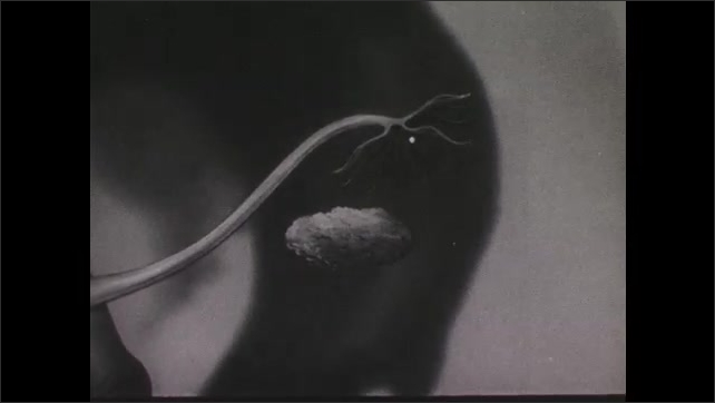 1940s: Illustration of woman's fallopian tube connected above ovary. Egg is released from ovary and floats up fallopian tube. Egg travels down fallopian tube to uterus.