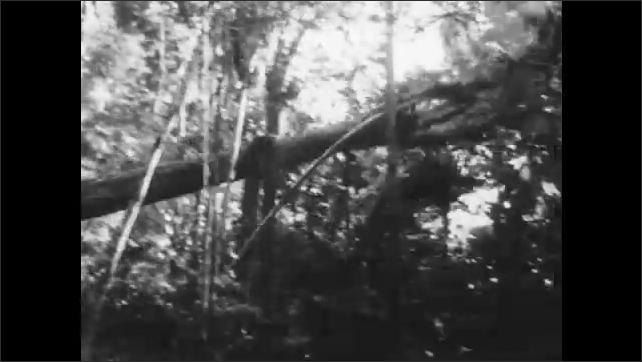 1960s: Long shot, man climbs down from tree, tree falls.