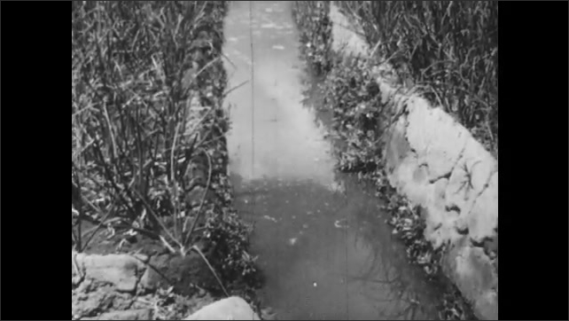 1960s: Man walking in ditch, moves dirt to side, pan of water running through ditch. Water running out of ditch. Tilt up ditch. Man throws water on crops.