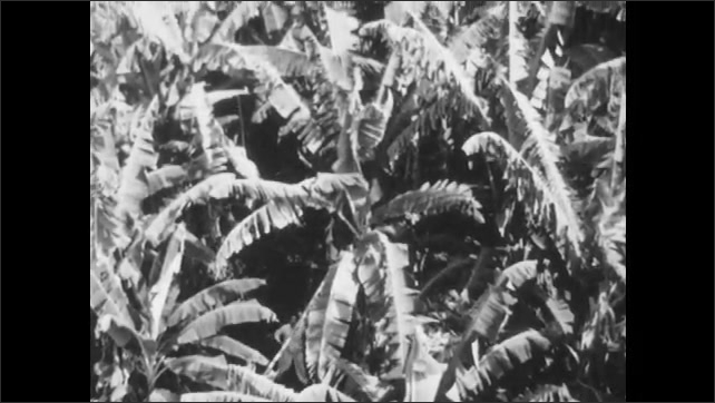 1960s: Tracking shot from train, view of jungle. Field of banana trees. Houses surrounded by trees. Tilt up field of banana trees. Sprinkler watering trees.