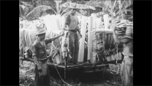 1960s: Man pulls bananas from tree. Man cuts banana bunch from tree. Man gives bananas to boy on truck. Bananas on truck.