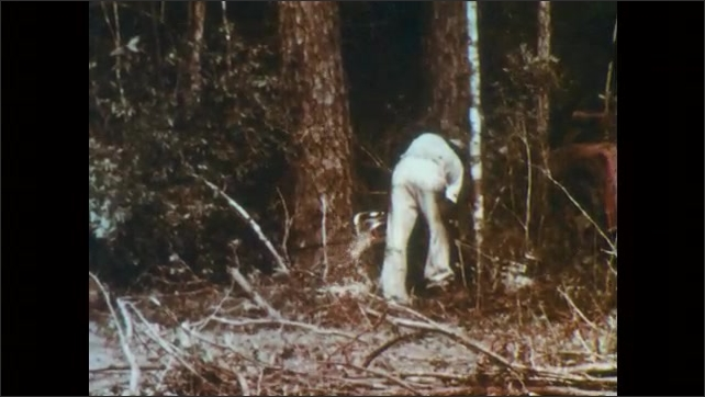 1960s: Low angle pan of trees. Man sawing through tree. Close up of man shouting. Tilt of tree falling.