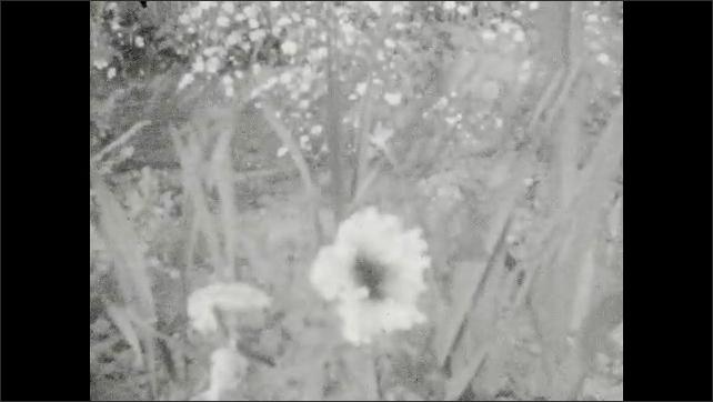 1920s: UNITED STATES: wild flowers in summer garden. Poppies in fields. Girl runs in garden. Girl on stepping stones
